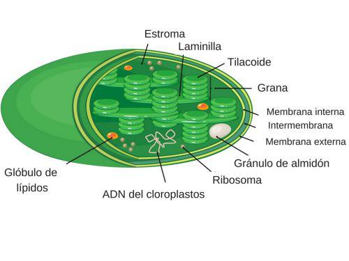 estructura del cloroplastos